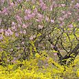Lilacs and Forsythia