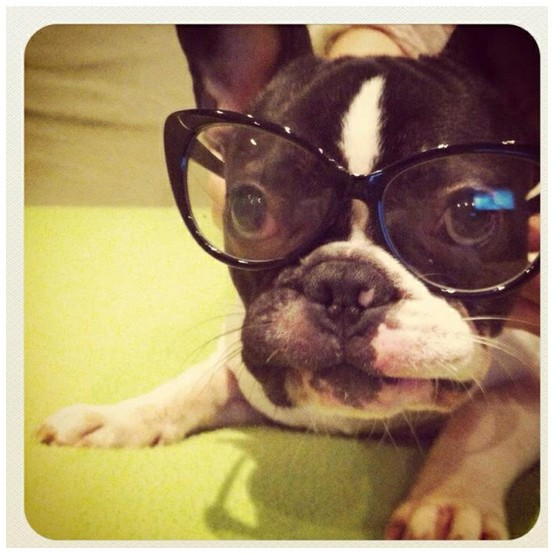 Pug-with-glasses
